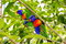 Colorful birds in green leaves