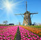 Fabulous landscape of Mill wind and tulips in Holland on a sunny