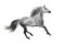 The grey Andalusian stallion gallops on white background
