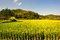 Lush green paddy in rice field. Spring and Autumn Background