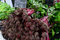 Baby beetroots for sale