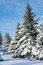 Winter landscape fir trees with snow