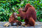 Baby Orang Utan sitting in a bowl with his mother