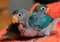 Two baby blue lovebirds with red beak on orange clothes