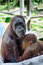 Mother and child orang-utan breastfeeding