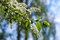 Bird Cherry branch in spring