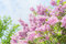 Lovely Lilac blooming over sky background. Outdoor nature background with  Lilac blossom