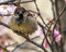 Angry sparrow bird on spring sakura tree branch