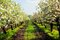 Blooming apple trees garden with green grass at sunset