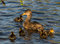 Mallard mummy and her ducklings.