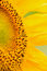Macro Details of Sunflower surface