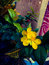 Money tree fortune plant yellow flowers