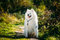 Very Funny Happy Funny Lovely Pet White Samoyed Dog Outdoor in Summer Park