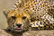 Portrait of a cheetah. Close-up. Kenya. Tanzania. Africa. National Park. Serengeti. Maasai Mara.