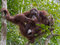 Adult orangutan sits high up on a tree and enjoying the condense