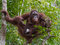 Adult orangutan sits high on the tree and eating a condensed mil