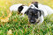 LLittle puppies of a jack russell playing outdoors