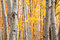 Birch forest in autumn with vibrant yellow leaves