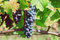 Blue grapes ripening on the branch of farm. Vineyard with organic grape shoots at harvest time.