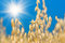 Golden ear of oats against the blue sky and sun