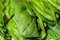 Fresh green spinach leaves close up