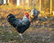 Beautiful plymouth rock chicken rooster with black and white bar