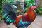 The colorful rooster in the yard. Beautiful feathers of rooster