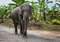 Elephant walking on a dirt road near the forest.Thailand