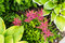 Bright green leafs of hosta and pink red Astilbe flowers