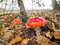 Amanita muscaria, the red poisonous mushroom with white flakes, in a forest