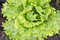 Close up of fresh green salad growing in garden in summertime