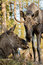 Moose or elk, Alces alces, cow lying down and bull standing, sniffing each other, vertical image