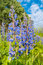 Blue salvia flower in the green garden, beautiful blue sky with clouds on background.