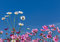 White and pink cosmos flowers blooming on blue sky background