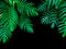 Green leaves of Monstera philodendron plant growing in wild, the