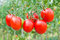 Red bunches of tomatoes close-up on a background of the garden