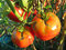 Red Tomatoes Ready for Harvest