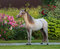 American miniature horse. Young stallion on green grass