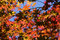 Maple leaves in fall withblue sky