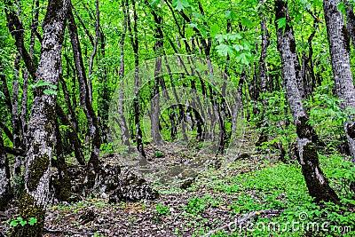 Floresta verde madeiras