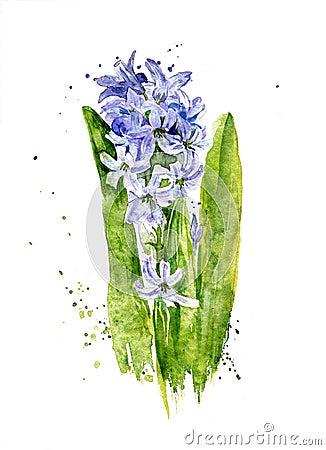 与茎和叶子,艺术绘画的水彩蓝色风信花.图片