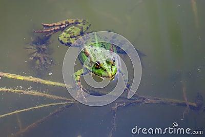 游泳青蛙的特写镜头