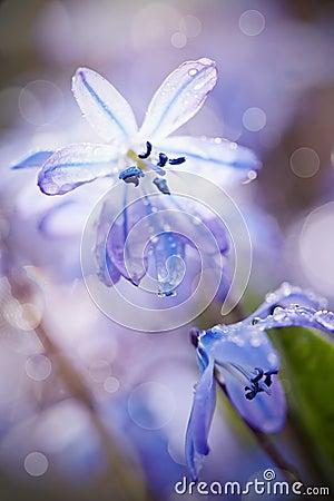 春天蓝色花结束- scilla