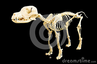 狗骨骼模型 库存照片