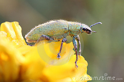 节肢动物系列绿色昆虫