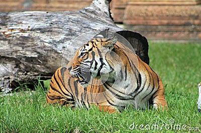 老虎显示牙 库存照片