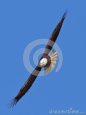 Águila calva que vuela