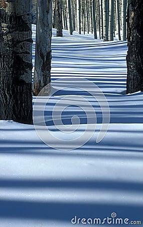 Álamos tembloses y nieve