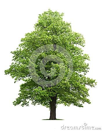 Árbol de arce