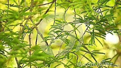 Árbol de hoja perenne tropical del follaje del árbol de tamarindo metrajes